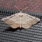 6272  Brown-bordered Geometer - Eumacaria madopata
