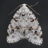 8098 Little White Lichen - Clemensia albata