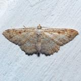 7139 Sweetfern Geometer - Cyclophora pendulinaria