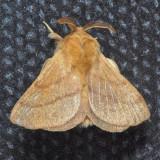 7698 Forest Tent Caterpillar - Malacosoma disstria