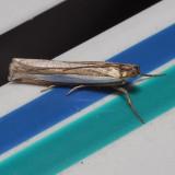 5355 Common Grass-veneer - Crambus praefectellus