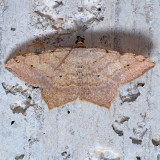 6342  Red-headed Inchworm - Macaria bisignata