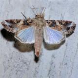 9669  Yellow-striped Armyworm - Spodoptera ornithogalli