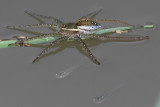 Six-spotted Fishing Spider and Fish