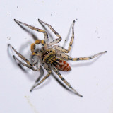 Maevia inclemens - Dimorphic Jumping Spider