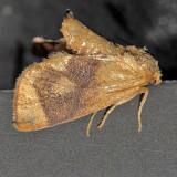 4667 Yellow-collared Slug - Apoda y-inversum