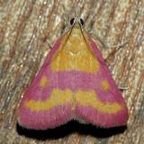 5070 Southern Purple Mint - Pyrausta laticlavia
