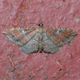 7414  The Gem - female - Orthonama obstipata