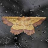 6724 The Saw-wing - Euchlaena serrata