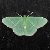 7046  Red-fringed Emerald - Nemoria bistriaria