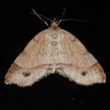 6296   Plumose Angle - Macaria plumosata