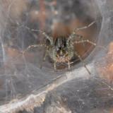 Funnel Web in Ivy