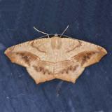 6982 Large Maple Spanworm - Prochoerodes lineola