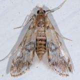 4748 Pondside Pyralid Moth - Munroessa icciusalis