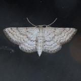 6356  Macaria [Semiothisa] maculifascia