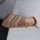 7905 Azalea Caterpillar - Datana major