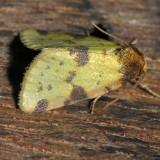 9725 Obtuse Yellow - Stiriodes obtusa
