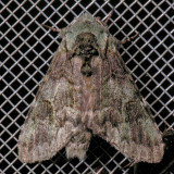 7975 Mottled Prominent - Macrurocampa marthesia