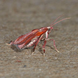 5552 Boxwood Leaftier - Galasa nigrinodis