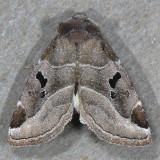 9754 Black-barred Brown - Plagiomimicus pityochromus