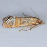 5454  Grass-veneer  - Euchromius ocellea