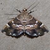 5169 Spotted Beet Webworm - Hymenia perspectalis