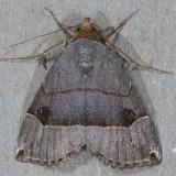8489  Ommatochila Moth - Ommatochila mundula