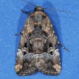 9682 Exesa Midget - Elaphria exesa