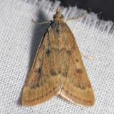 4975 Garden Webworm - Achyra rantalis