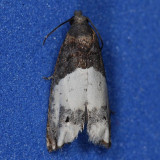 3186 Scudder's Epiblema - Epiblema scudderiana