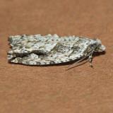 3259 Arrowhead Moth - Gretchena deludana
