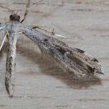 6160 Ambrosia Plume - Adaina ambrosiae