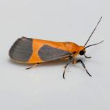 8061 Kentucky Lichen Moth - Cisthene kentuckiensis