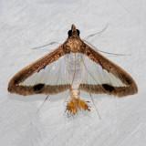 5204 Melonworm Moth - Diaphania hyalinata