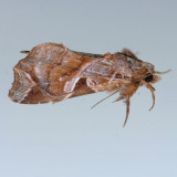 9630 Florida Callopistria - Callopistria floridensis