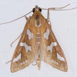 5256 Diastictus Moth - Diastictus fracturalis