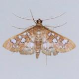 5152 Baccatalis Moth - Samea baccatalis