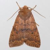 9957   Bicolored Sallow - Sunira bicolorago