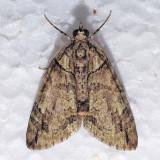 7238  Hydriomena bistriolata