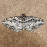 7416 Bent-line Carpet male - Orthonama centrostrigaria