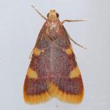 5524  Clover Hayworm - Hypsopygia costalis