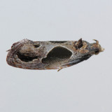 2749 Sculptured Moth - Eumarozia malachitana