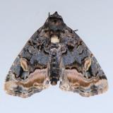 9057  Black Wedge-spot - Homophoberia apicosa
