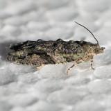 3235 Gray-flanked Proteoteras - Proteoteras moffatiana