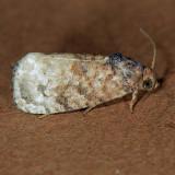 3498  False Coddling Moth - Ecdytolopha mana