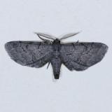 6478 Fine-lined Gray - Exelis pyrolaria