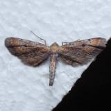 6486 Dimorphic Gray - Tornos scolopacinarius