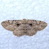 6584 Small Purplish Gray  - Iridopsis humaria