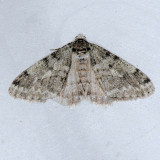 6660 Small Phigalia - Phigalia strigataria