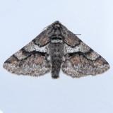 6652 Wooly Gray - Lycia ypsilon